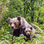 150.000 de lei pentru hrănirea urșilor. Ce soluții a găsit municipalitatea brașoveană pentru a îndepărta animalele din zonele locuite