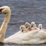 Natura suprinzătoare: tatăl lebăda are grijă de copii după ce partenera lui a murit la o săptămână de la venirea pe lume a puiuților